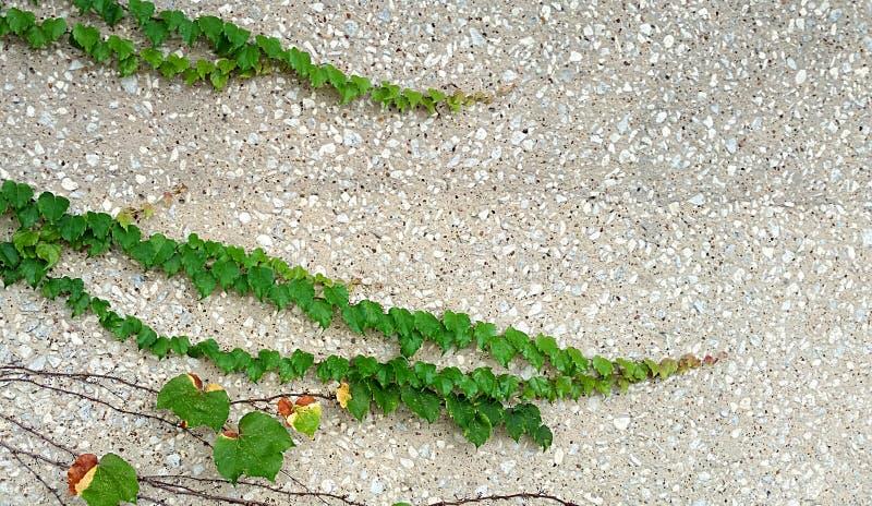 Vignes s'élevant sur le mur en pierre horizontalement images stock