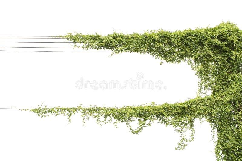Vignes sur des poteaux sur le blanc photo libre de droits
