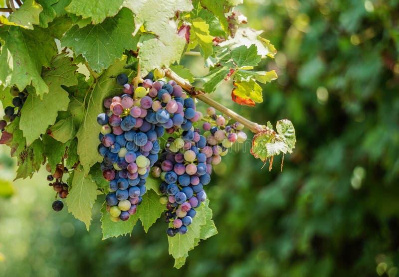 Vignes sur la vigne images stock
