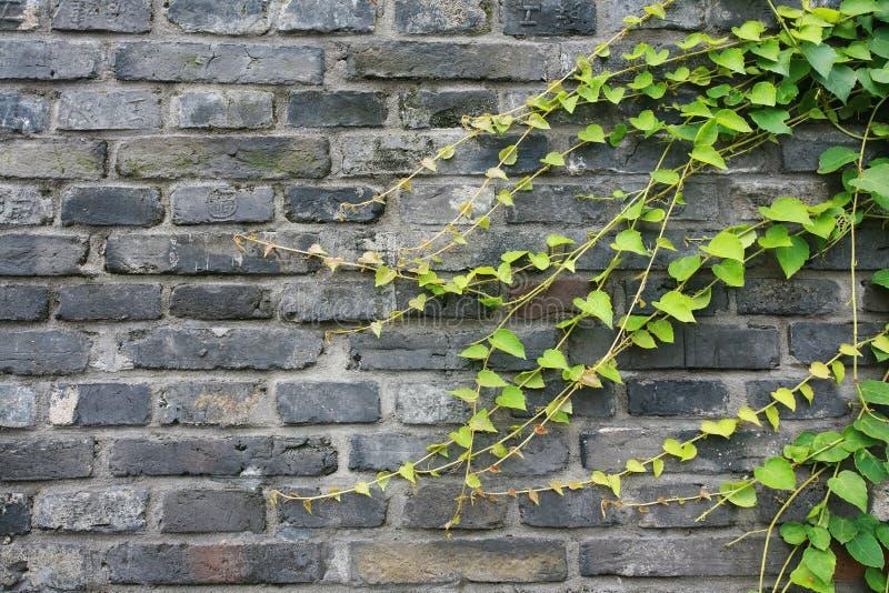Vignes sur le mur de briques photos stock