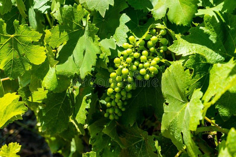 Vignes vertes dans des feuilles de raisin photographie stock libre de droits