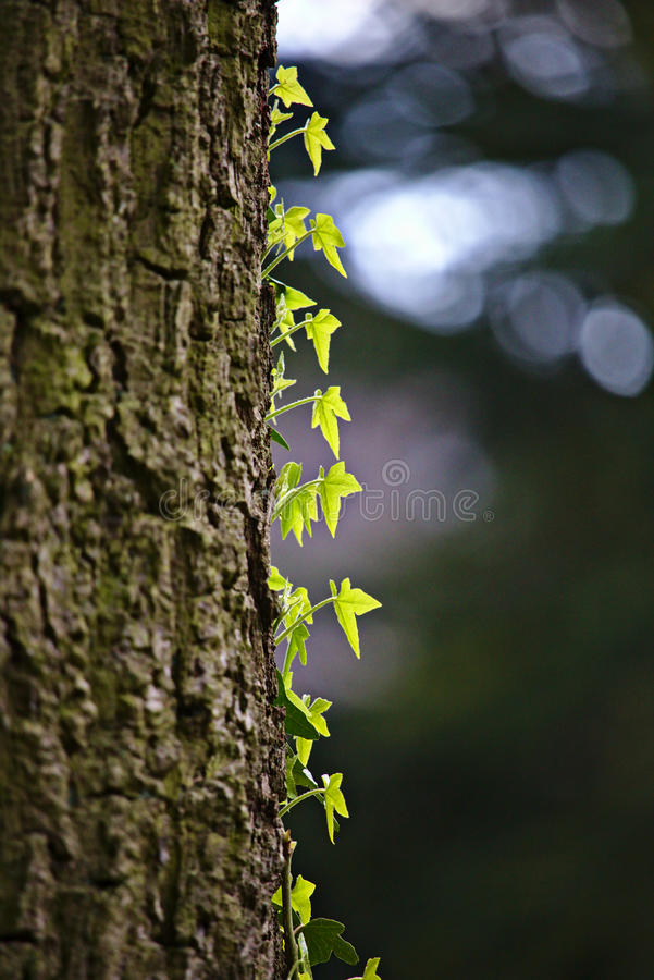 Vignes vertes montant un tronc d'arbre photographie stock