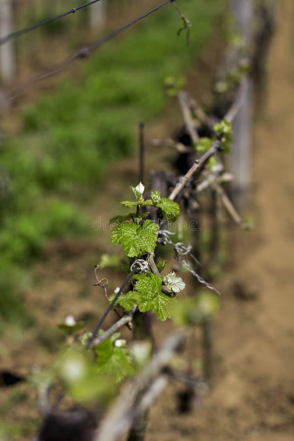 vignes Vignobles au printemps images stock