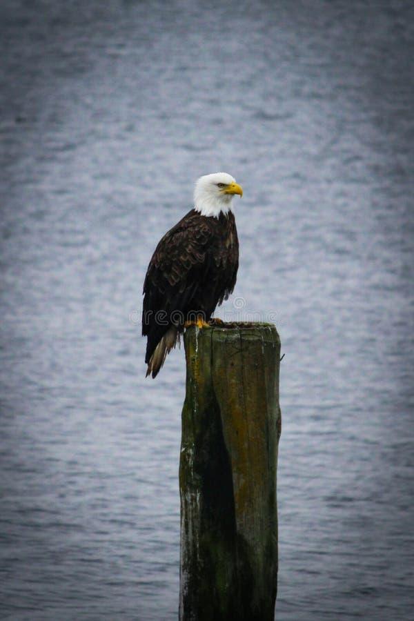 Vignetted美国白头鹰在约翰斯通s的岗位栖息 免版税库存图片