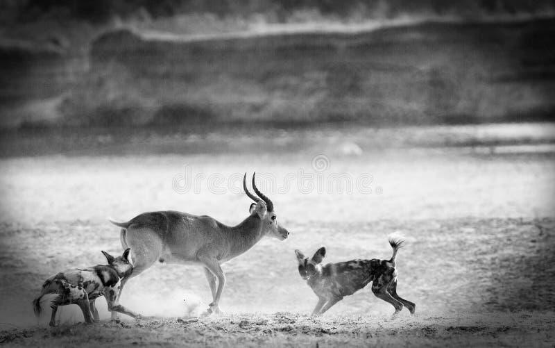 Vignetted-Bild von den afrikanischen wilden Hunden, die eine puku Antilope in Süd-Nationalpark Luangwa, Sambia in Angriff nehmen lizenzfreies stockfoto
