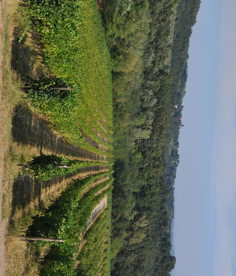 Vigneyard in garfagnana. Foreshortening of hilly vineyard with multiple lines of plants in a green rustic landscape royalty free stock photography
