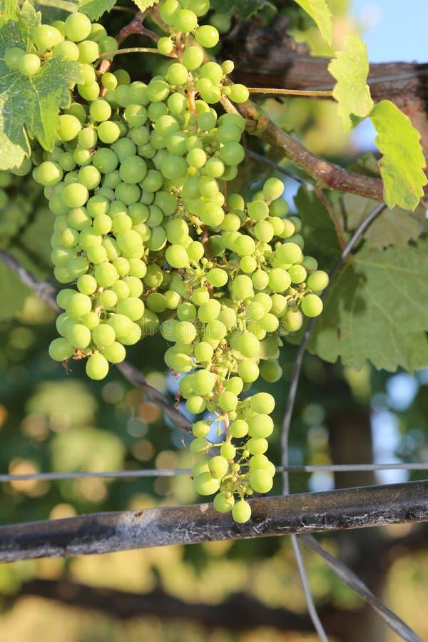Vignoble étroit de la couverture de raisins verts de la magazine ou du panneau d'affichage photos stock