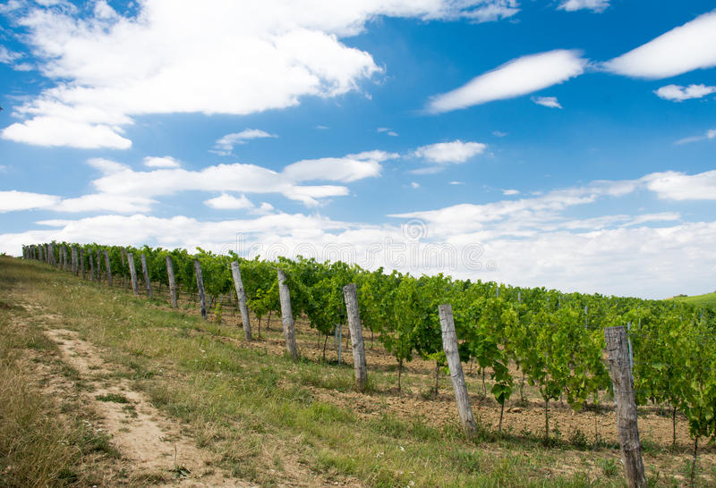 Vignoble photo stock