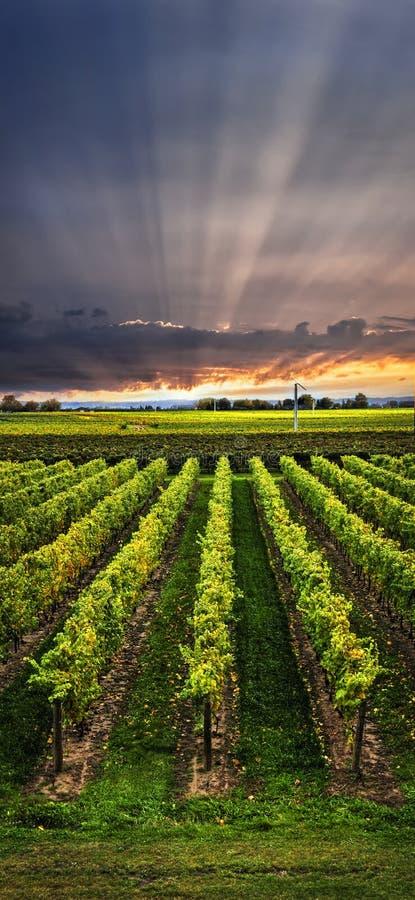 Vignoble au coucher du soleil photographie stock