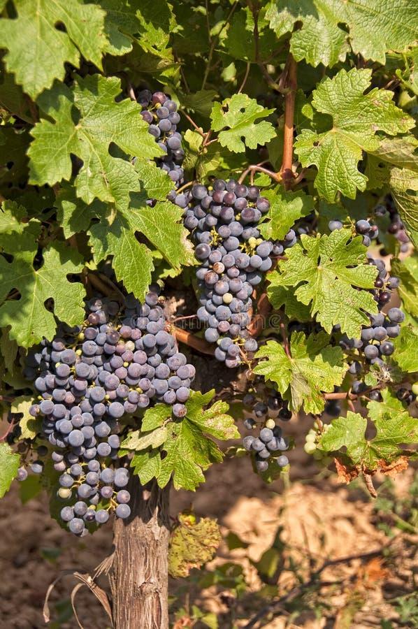 Vignoble avec des raisins noirs photos stock