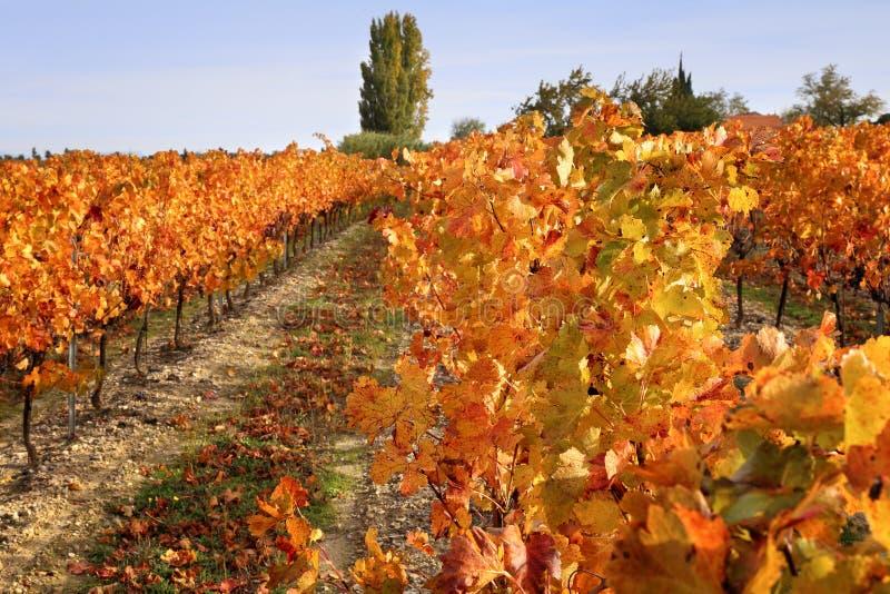 Vignoble d'automne photographie stock