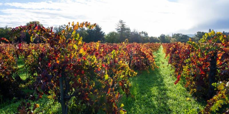 Vignoble d'automne pendant le matin images libres de droits