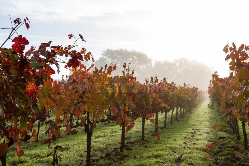 Vignoble d'automne pendant le matin photos libres de droits