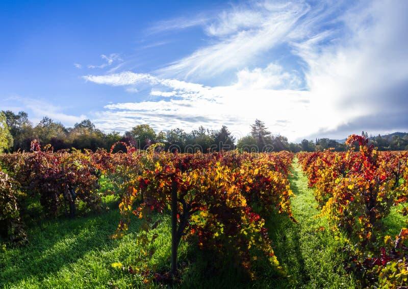 Vignoble d'automne pendant le matin photos stock