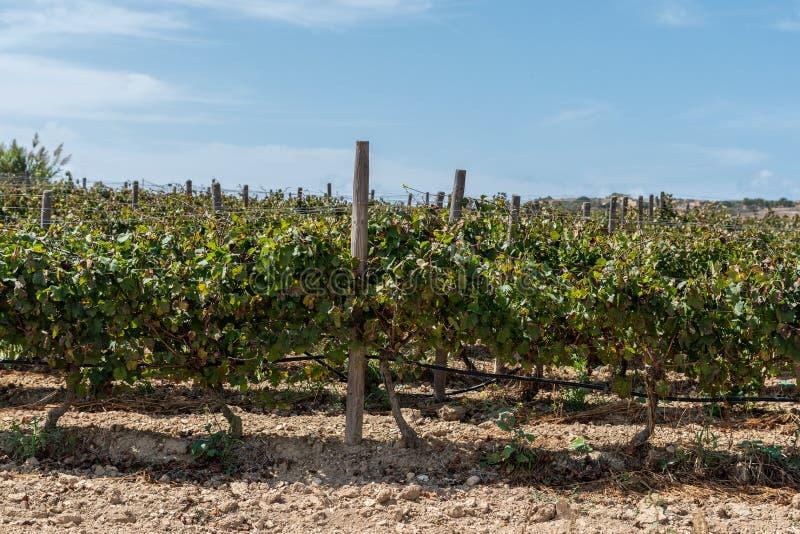 Vignoble dans Gozo pour le seoson images libres de droits