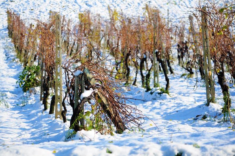 Vignoble dans la neige photos libres de droits