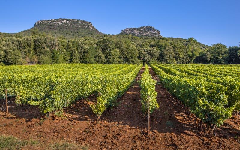 Vignoble dans la r?gion de Languedoc Roussillon images stock