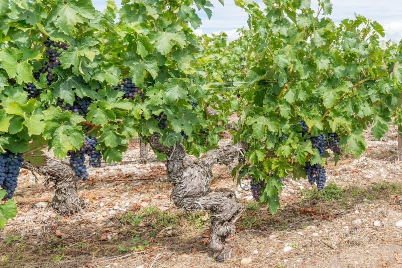Vignoble dans Medoc près de Bordeaux dans les Frances photo libre de droits
