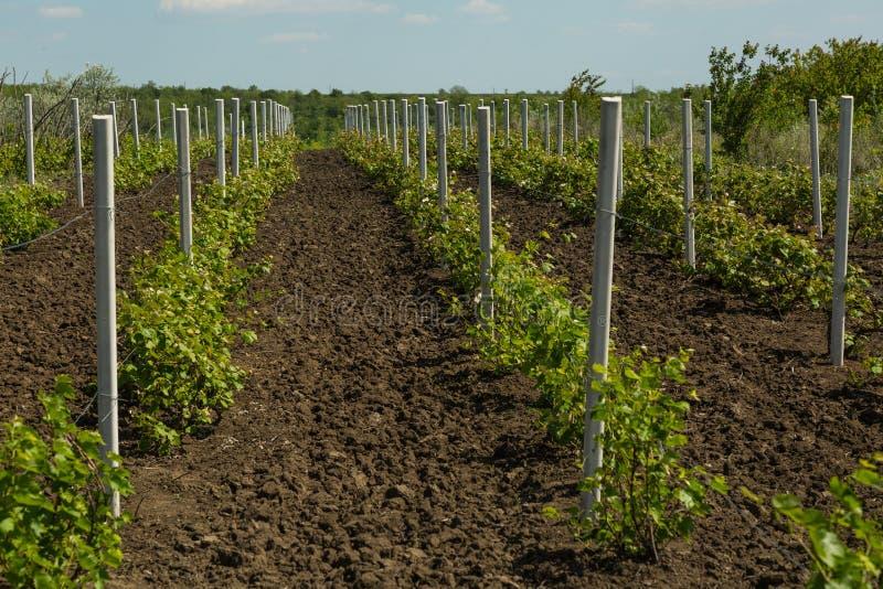 Vignoble dans Moldau photo libre de droits
