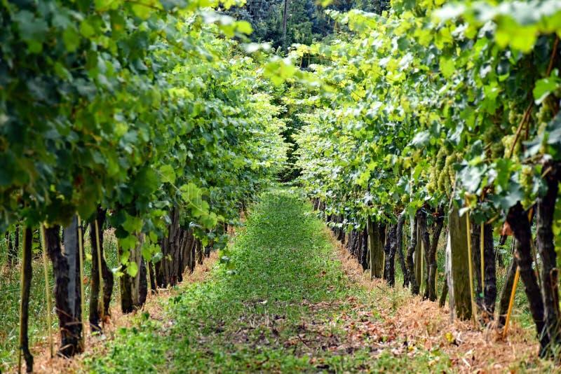 Vignoble dans Radebeul Saxe/Allemagne image libre de droits