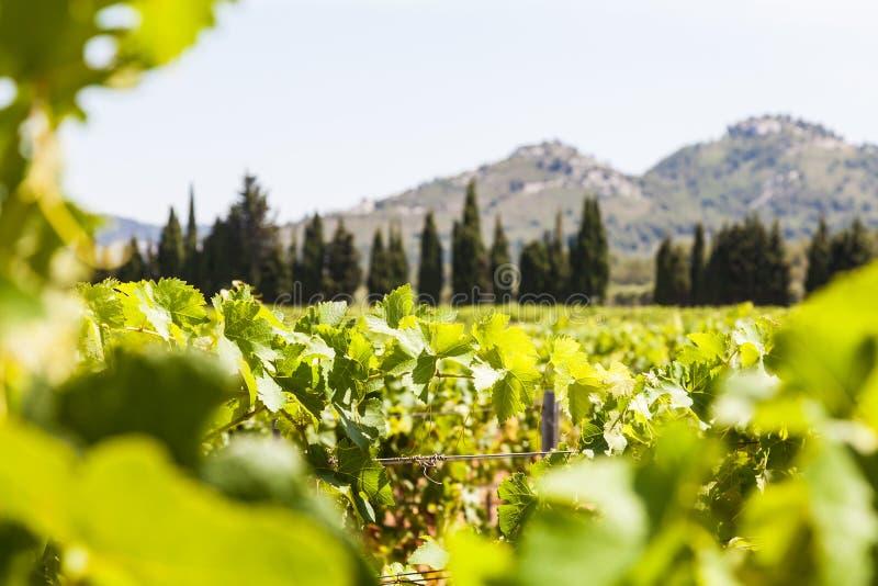 Vignoble de la Provence image libre de droits