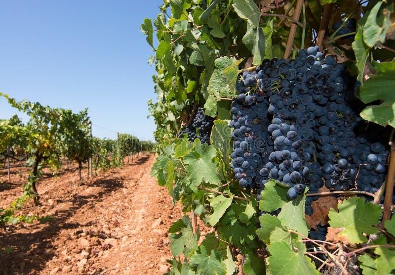 Vignoble de Majorque photos libres de droits
