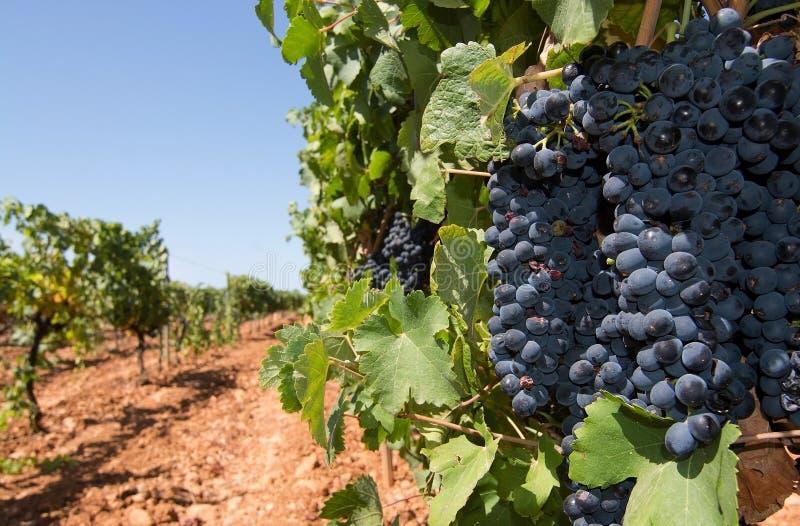 Vignoble de Majorque images libres de droits