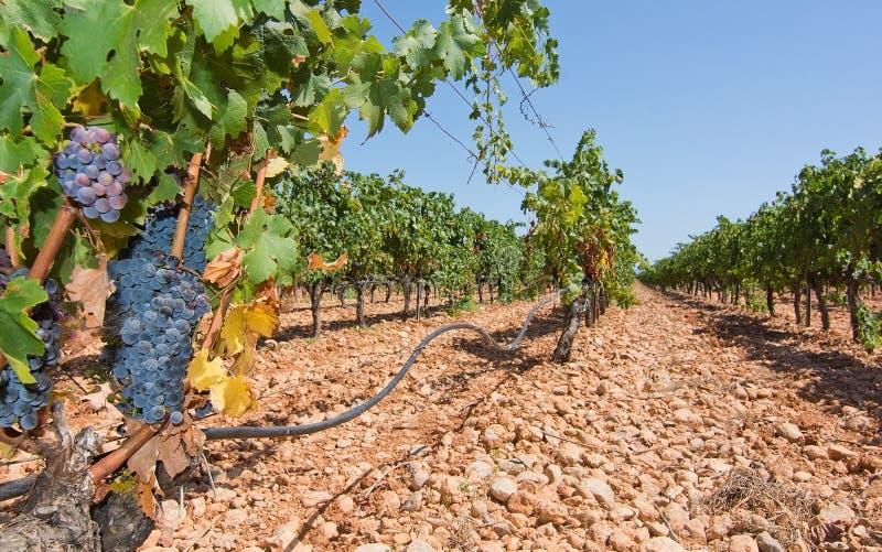Vignoble de Majorque photo stock