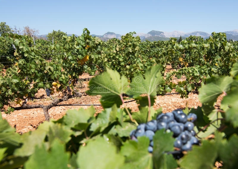 Vignoble de Majorque image stock