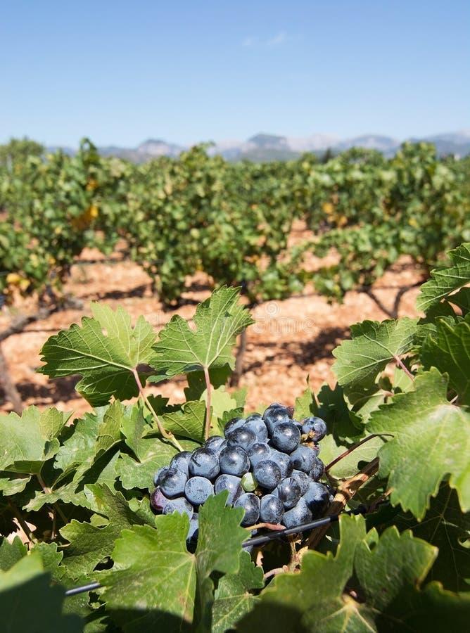 Vignoble de Majorque photos stock