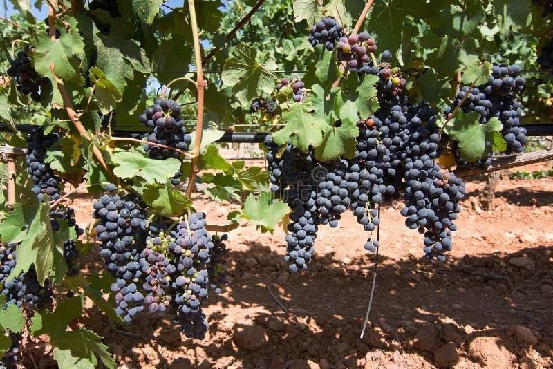 Vignoble de Majorque photographie stock libre de droits