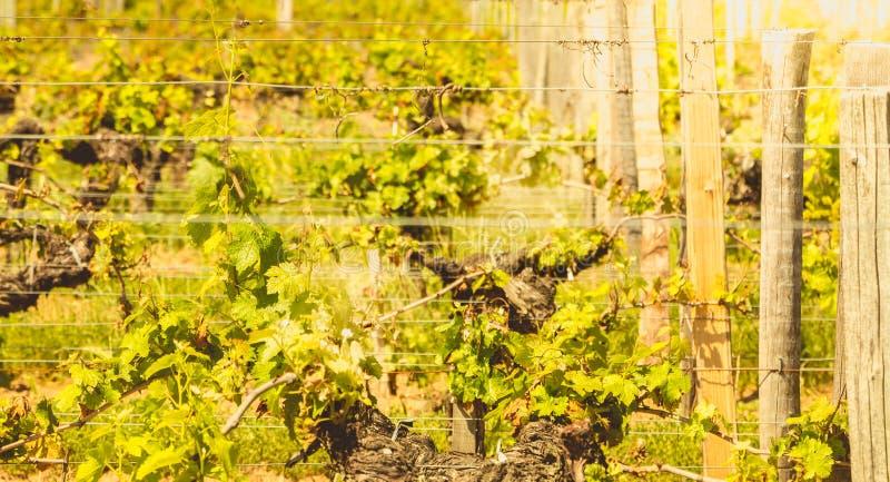 Vignoble de Saint Emilion, France, près de Bordeaux à la fin de s photo libre de droits