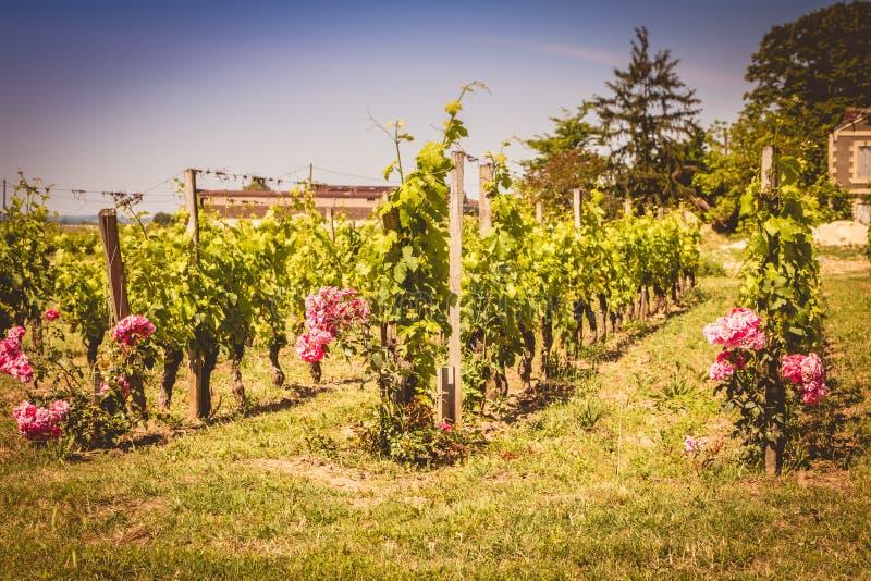 Vignoble de Saint Emilion, France, près de Bordeaux à la fin de s images libres de droits