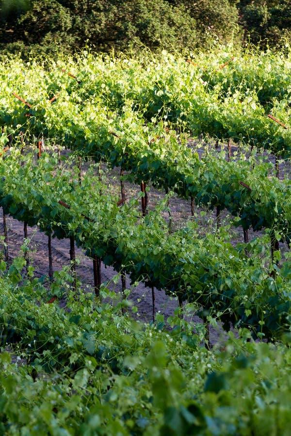 Vignoble en Californie images libres de droits