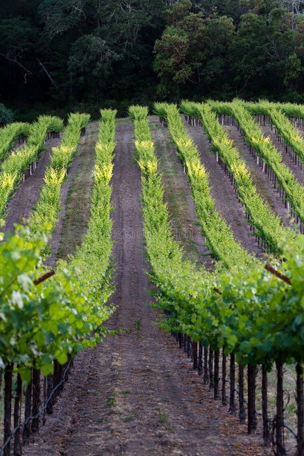 Vignoble en Californie photo libre de droits