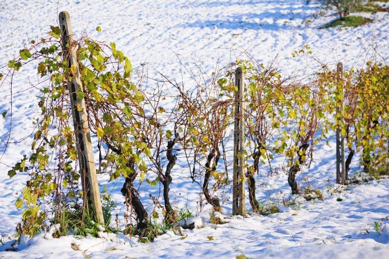 Vignoble en hiver photographie stock libre de droits