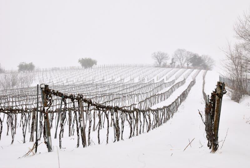 Vignoble avec la neige photographie stock libre de droits