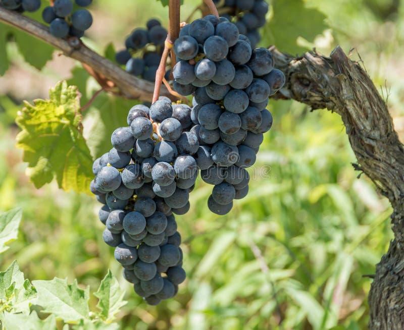 Vignoble et pamplemousse dans Medoc près de Bordeaux dans les Frances images libres de droits