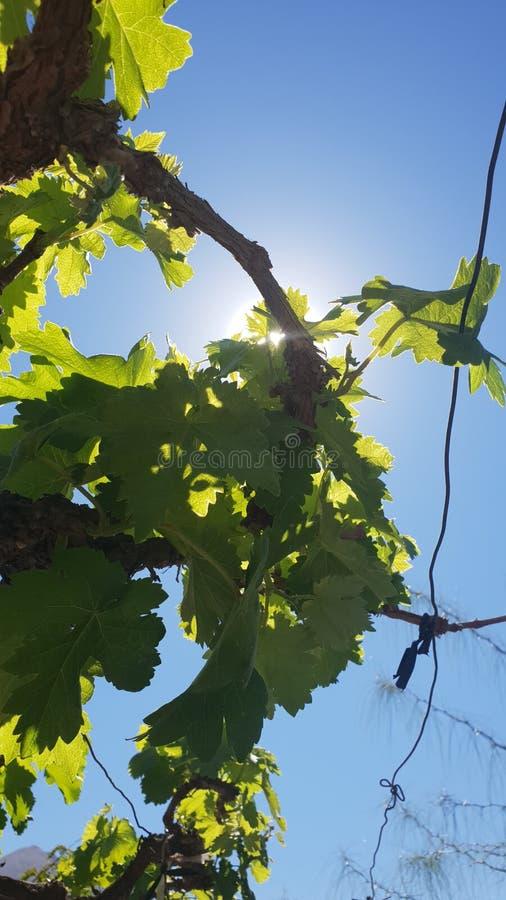 Vignoble et soleil photos libres de droits