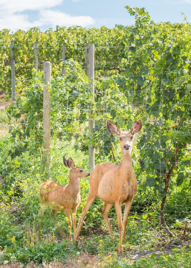 Vignoble extérieur debout de daine et de faon de cerfs communs de mule en été photos libres de droits