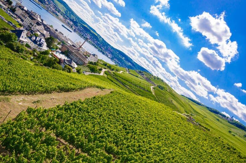 Vignoble frais vert près de Ruedesheim au Rhénanie-Palatinat, Allemagne photo libre de droits