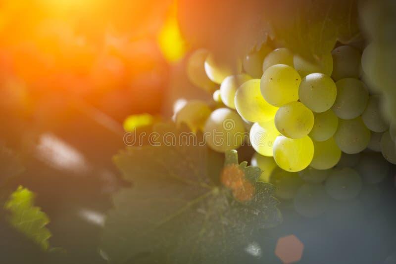 Vignoble luxuriant de boisseaux de raisin blanc pendant l'après-midi Sun image stock