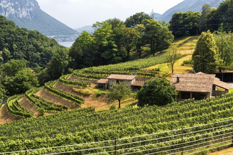 Vignoble près d'Arogno Tessin, Suisse photos libres de droits
