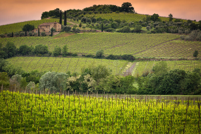 Vignoble près de Montalcino, Toscane, Italie photos stock