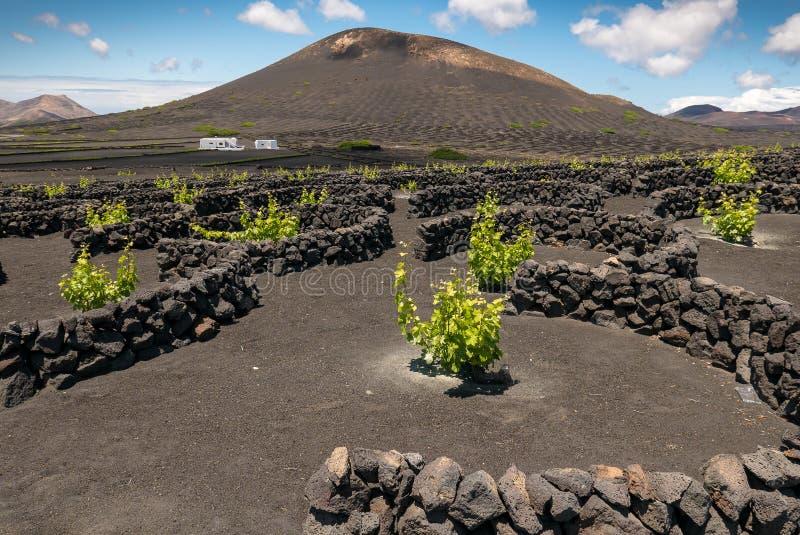 Vignoble protégé contre le vent sur l'île de Lanzarote photos libres de droits