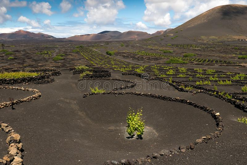 Vignoble protégé contre le vent sur l'île de Lanzarote photographie stock libre de droits