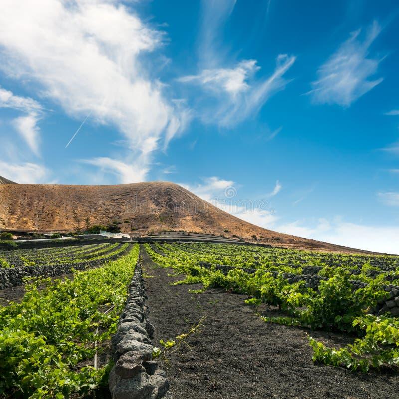 Vignoble sur le sable volcanique noir à Lanzarote images libres de droits