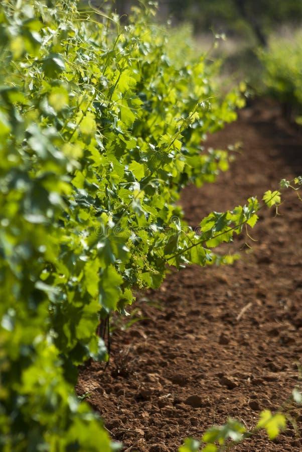 Vignoble vert photos stock