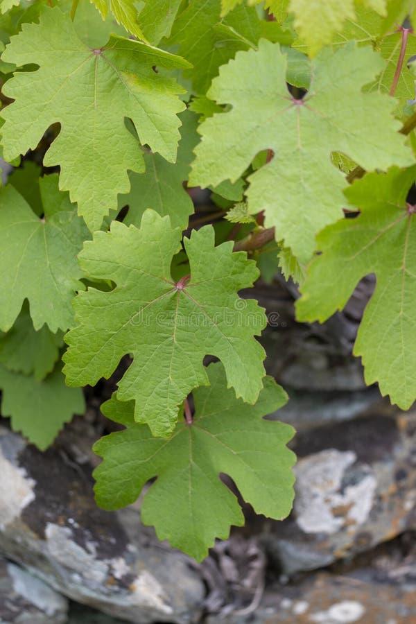vignoble vert de pamplemousse photographie stock