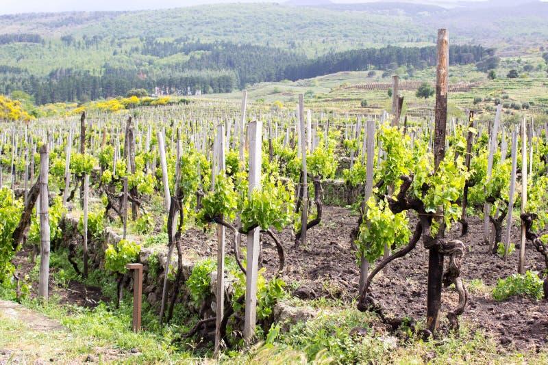 Vignoble vert sur la montagne de l'Etna images libres de droits